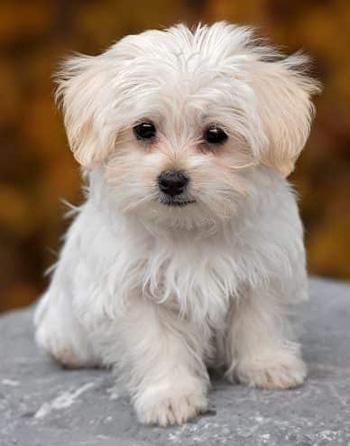 Dog Bite by Maltese Puppy
